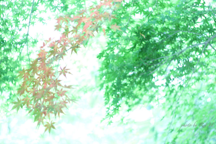 MONOLOGUE 楓 葉っぱ 単焦点 Maple Leaves Singlefocus 50mm Nature On Your Doorstep EyeEm Nature Lover Canon