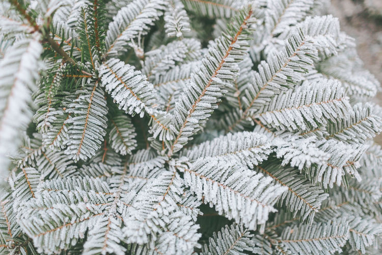 A frost covered evergreen tree. Plant Close-up Tree No People Winter Pine Tree Focus On Foreground Coniferous Tree Outdoors Needle - Plant Part Fir Tree Frost