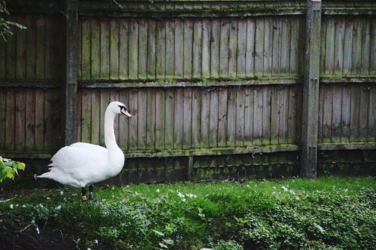Swan perching on grass