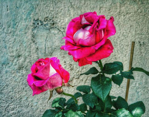 Te amo tanto, como las rosas aman a sus espinas. Flowers Flowerporn Flower Pink Nature Tallo Espinas Rose🌹