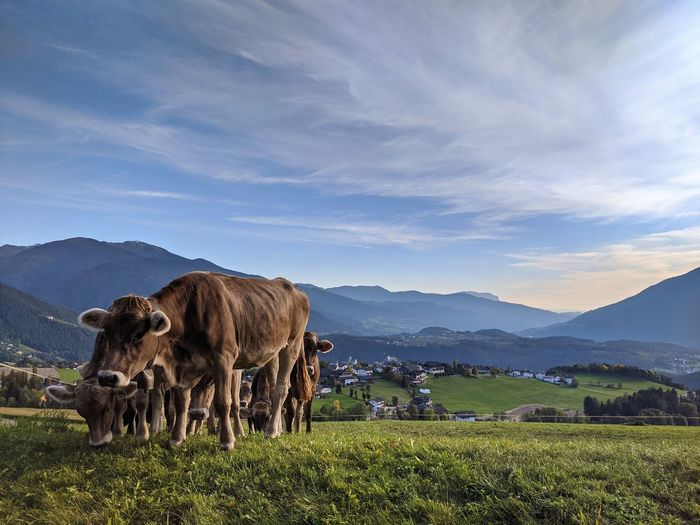 Cow in italy in a mountain