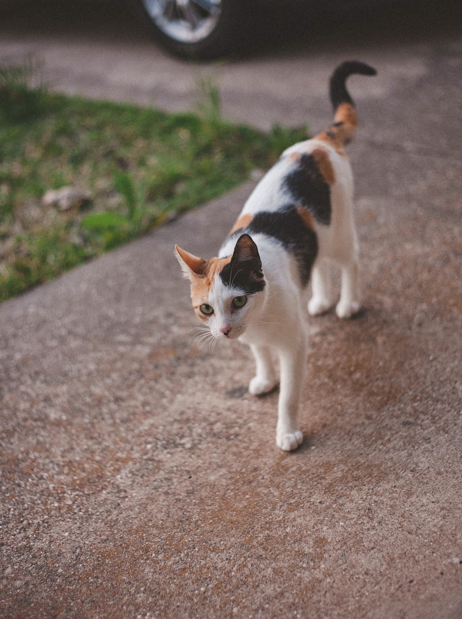 domestic, pets, domestic animals, cat, domestic cat, mammal, feline, one animal, vertebrate, no people, day, footpath, full length, standing, looking, portrait, whisker
