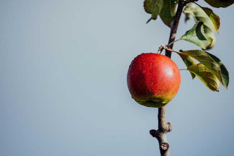 Close-up of apple growing on tree against clear sky
