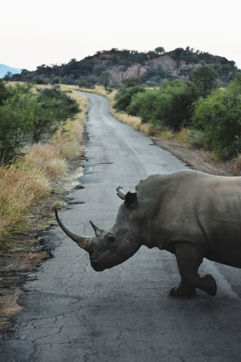Why did the rhino cross the road?... Rhino White Rhino White Rhinoceros Pilansberg Pilansberg National Park Game Drive Africa South Africa American Bison Water African Elephant Wind Instrument Water Buffalo Tree Safari Animals Animal Themes Landscape Rhinoceros Horned