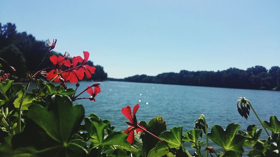 Flower Nature Beauty In Nature Red Water Plant Scenics Tranquility Tranquil Scene Growth Leaf Outdoors Lake No People Landscape Fragility Poppy Day River Tisza River Hungary Borsod Sorsodborsod