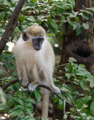 Green Monkey Animal Animal Themes Animal Wildlife Animals In The Wild Branch Day Forest Leaf Mammal Monkey Nature No People One Animal Outdoors Plant Plant Part Primate Sitting Tree Vertebrate