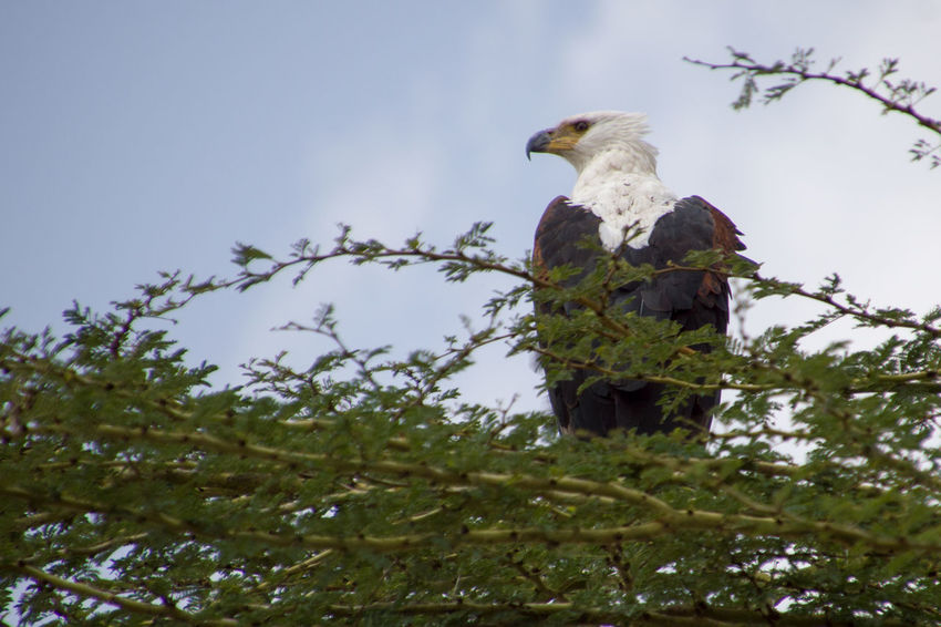 African Fish Eagle Eagle African Fish Eagle Animal Themes Animal Wildlife Animals In The Wild Beauty In Nature Bird Bird Of Prey Branch Day Growth Hamids Lens Low Angle View Nature No People One Animal Outdoors Perching Sky Tree