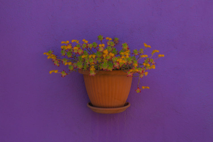Beauty In Nature Colored Background Flower Flower Pot Flowering Plant Fragility Freshness Nature Plant Potted Plant Purple Violett Wall - Building Feature Yellow