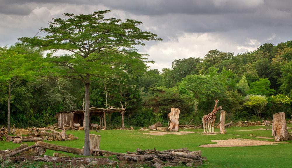 Little Safari today 🚻☡☡😊 Safari Zoo Animals  Giraffe Savane Green - Golf Course Green Grass Zoo Leipzig Travel Destinations Animals Animals Of Eyeem Beliebte Fotos Tree Sand Wildlife & Nature Wildlife Photography