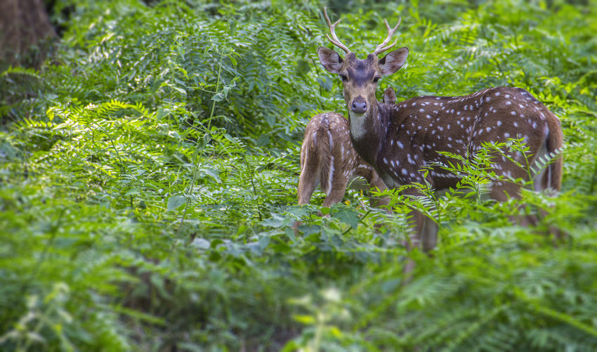 Deer sighting in the deep forest Animal Themes Animal Wildlife Animals In The Wild Beauty In Nature Day Deer Deersighting EyeEm Best Shots EyeEm Vision Grass Growth India Mammal Minimalism Nature New Perspectives No People Outdoors Travel
