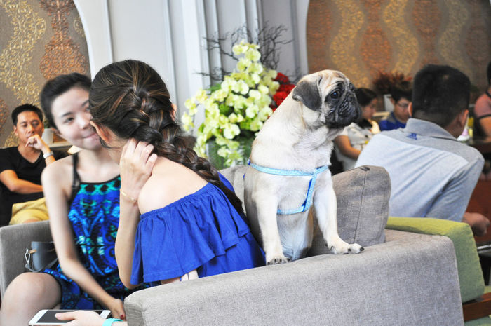 Dog not interested in girls' conversation in coffee shop in Da Nang, Vietnam. Casual Clothing Coffee Shop Conversations Couches Da Nang Decor Dogs Expressions Flowers Friendship Harness Leisure Leisure Activity Lifestyle Lifestyles Long Hair Moments Pets Relaxation Settees Sitting Talking Togetherness Vietnam