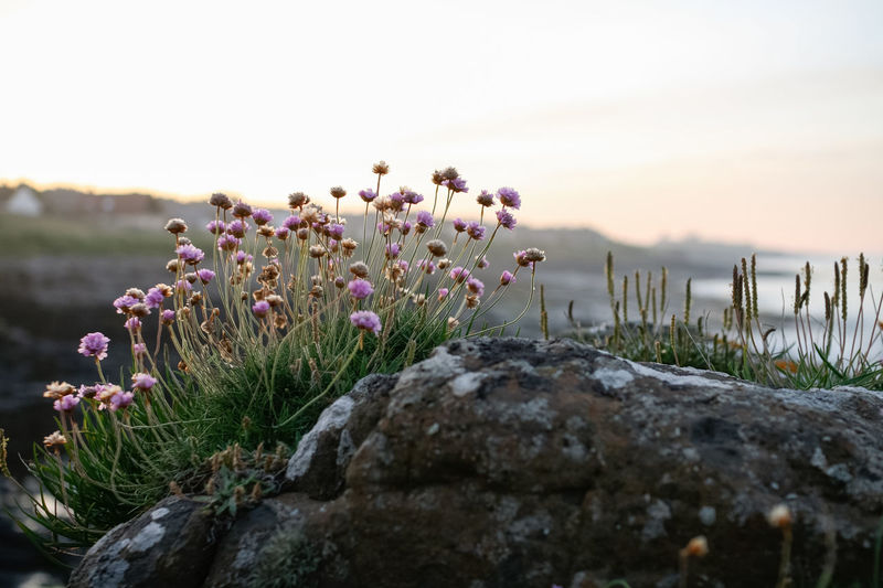 Rock Plant Dusk Sky Beauty In Nature Close-up Dusk Field Flower Flower Head Flowering Plant Focus On Foreground Fragility Freshness Growth Land Nature No People Outdoors Plant Purple Rock Rock - Object Selective Focus Sky Tranquil Scene Tranquility Vulnerability