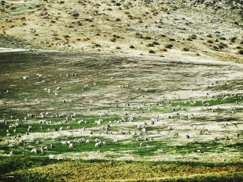 Sheeps Landscape Sheep Farm Sheep And Lambs New Zealand Animal Themes Field Grass Nature Grazing Livestock Mammal Sheep Large Group Of Animals Domestic Animals Green Color Outdoors No People Scenics Tranquility Day Pasture Tranquil Scene Beauty In Nature