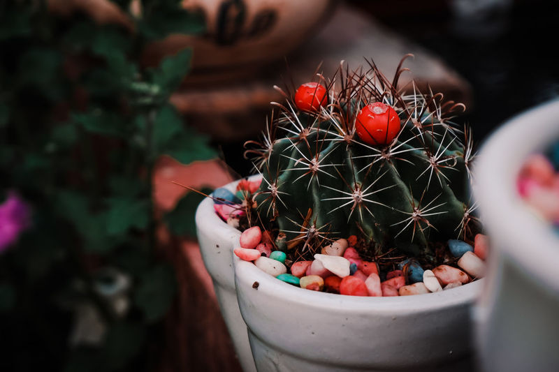 High angle view of cactus growing on potted plant