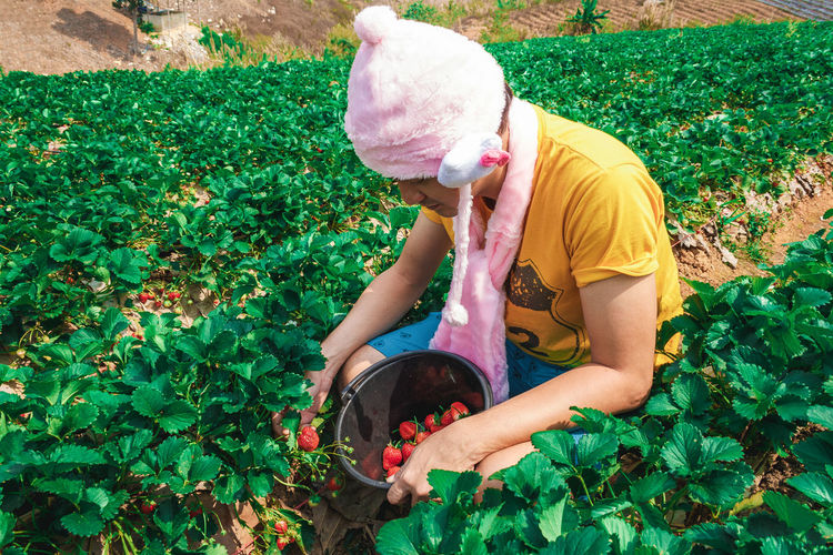 Man picking strawberries on agricultural field