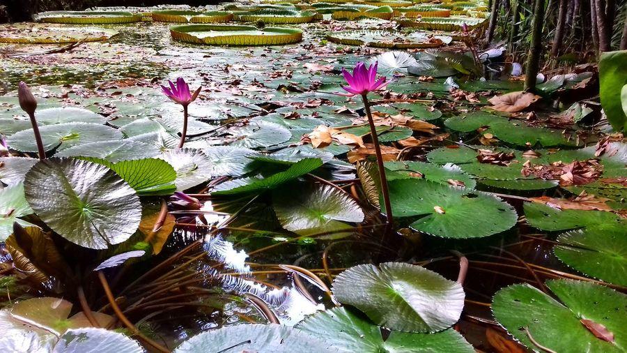 Belém Vitoria Regia Flor Flower Vilavelha Awesome Brazil Colors Marcovinicioof Amazonia