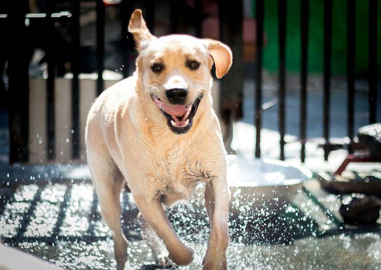 Labrador running in water