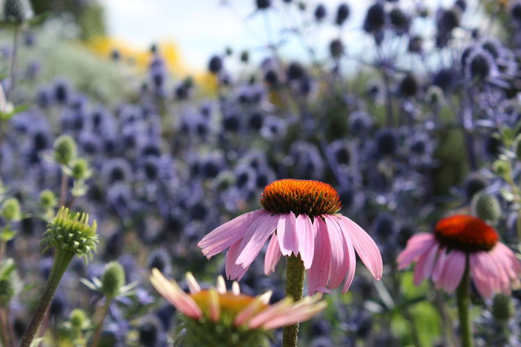 Pink n Purple Flowers,Plants & Garden Beauty In Nature Close-up Colours Of Nature Day Flower Flower Head Flowering Plant Flowers Focus On Foreground Freshness Growth Nature Outdoors Petal Plant Pollen Pollination Purple