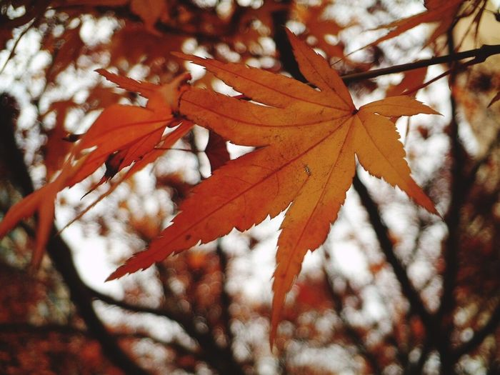 Leaf Autumn Change Maple Leaf Nature Maple Day Maple Tree Branch Beauty In Nature Outdoors Tree Sunlight Focus On Foreground Close-up No People Low Angle View Red Thank You,❤️ 감사합니다 I Always Thinking About U, G I Want To Know Your Secret, C