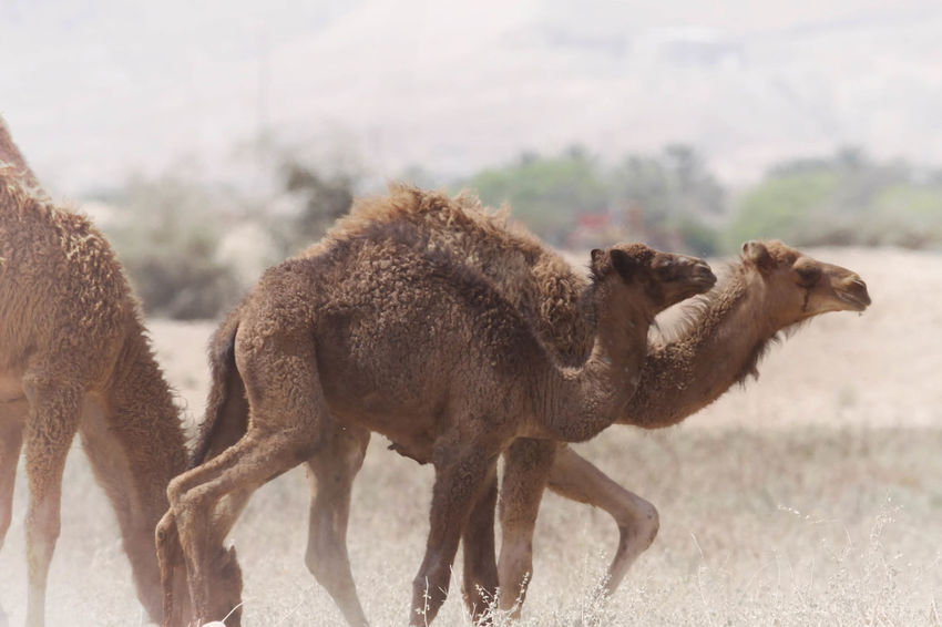 A Camel Animal Animal Family Animal Themes Brown Camel Camel Hair Camel Hump Camel Riding Day Desert Desert Life Focus On Foreground Herbivorous Horned Hump Landscape Livestock Mammal Nature No People Outdoors Ride Transportation Young Animal