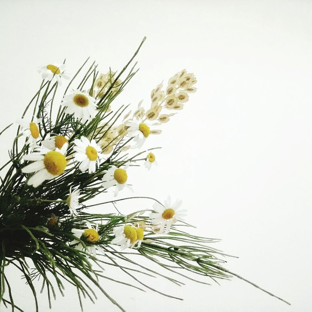 flower, white background, studio shot, freshness, yellow, no people, nature, close-up, growth, plant, fragility, flower head, beauty in nature, needle, day, outdoors