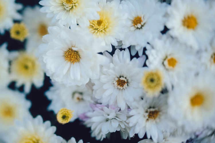 This Is Strength Flower Beauty In Nature Close-up Flower Head Inflorescence Growth Nature No People White Color Fragility Full Frame Vulnerability  Petal Flowering Plant Daisy Selective Focus Plant Freshness Pollen Day Outdoors Softness Mum