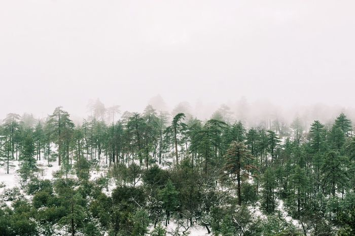 Tree Nature Forest Landscape Beauty In Nature No People Outdoors Scenics Sky Day Freshness Treetop Pine Woodland Cloud - Sky Winter Mountain Cold Temperature Snow Tranquility Green Color Nature Tree EyeEmNewHere