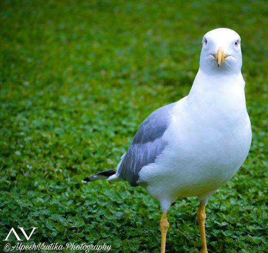 Bird Photography Seagull Lovely Bird White Bird Bird Bird Photography Birds Of EyeEm  EyeEmNewHere Bird Feather  White Color Close-up Grass
