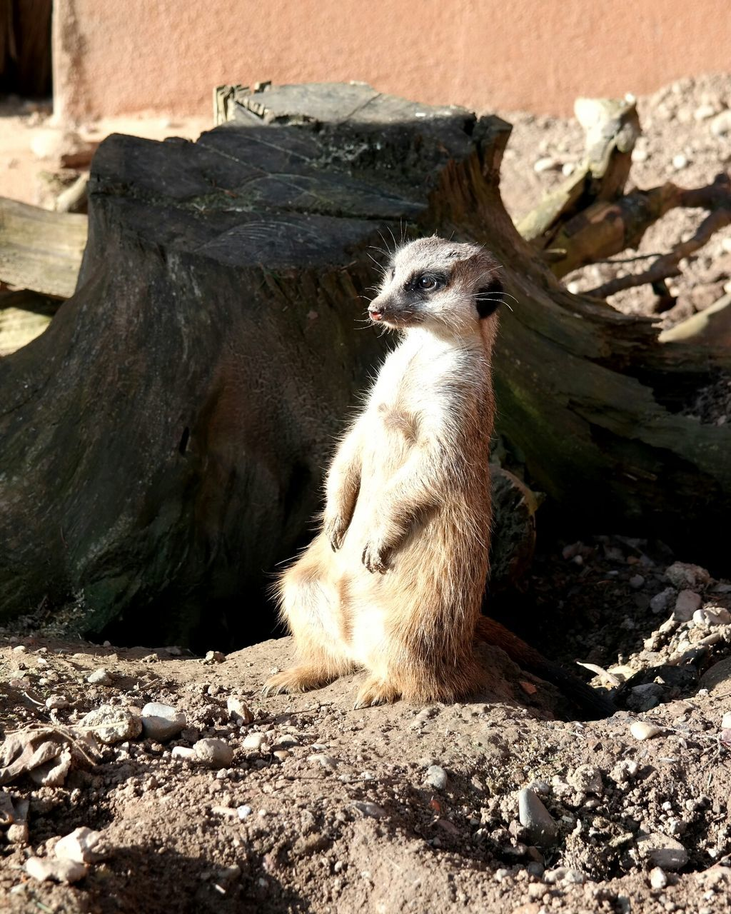 Close-Up Of Meerkat Sitting On Rock