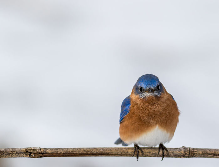 Eastern Bluebird (Sialia sialis) male perched in winter with snow in background Blueberry Avian Wildlife Bird Eastern Male Blue Songbird  Eastern Bluebird Tree Snow Winter February Northeast Birding Animal White Outdoors Nature Colorful Feather  Blue In Nature America Nj Cold Temperature