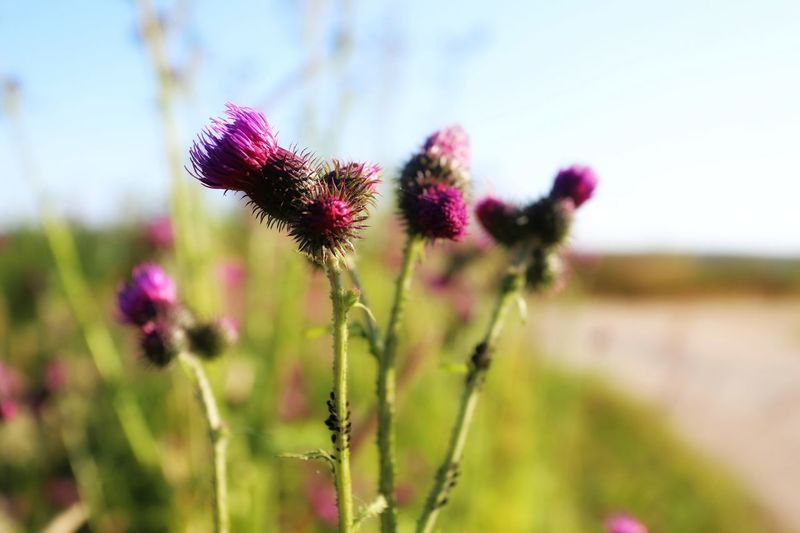 Close-up of purple flowering plants on field against sky