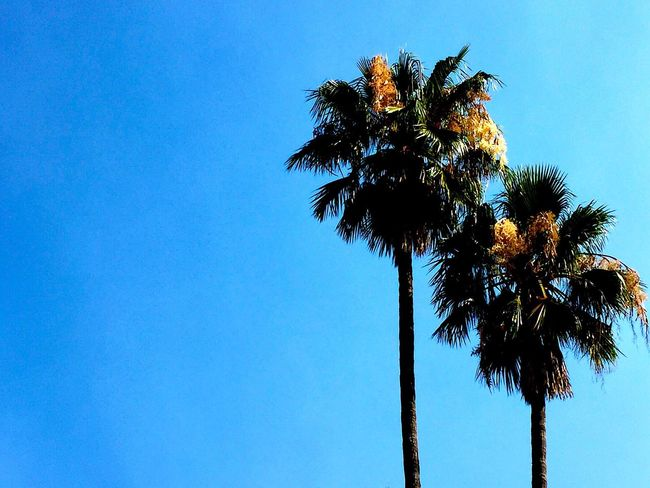Palm Tree Low Angle View Blue Clear Sky Outdoors No People Scenics Tree Day California Dreaming