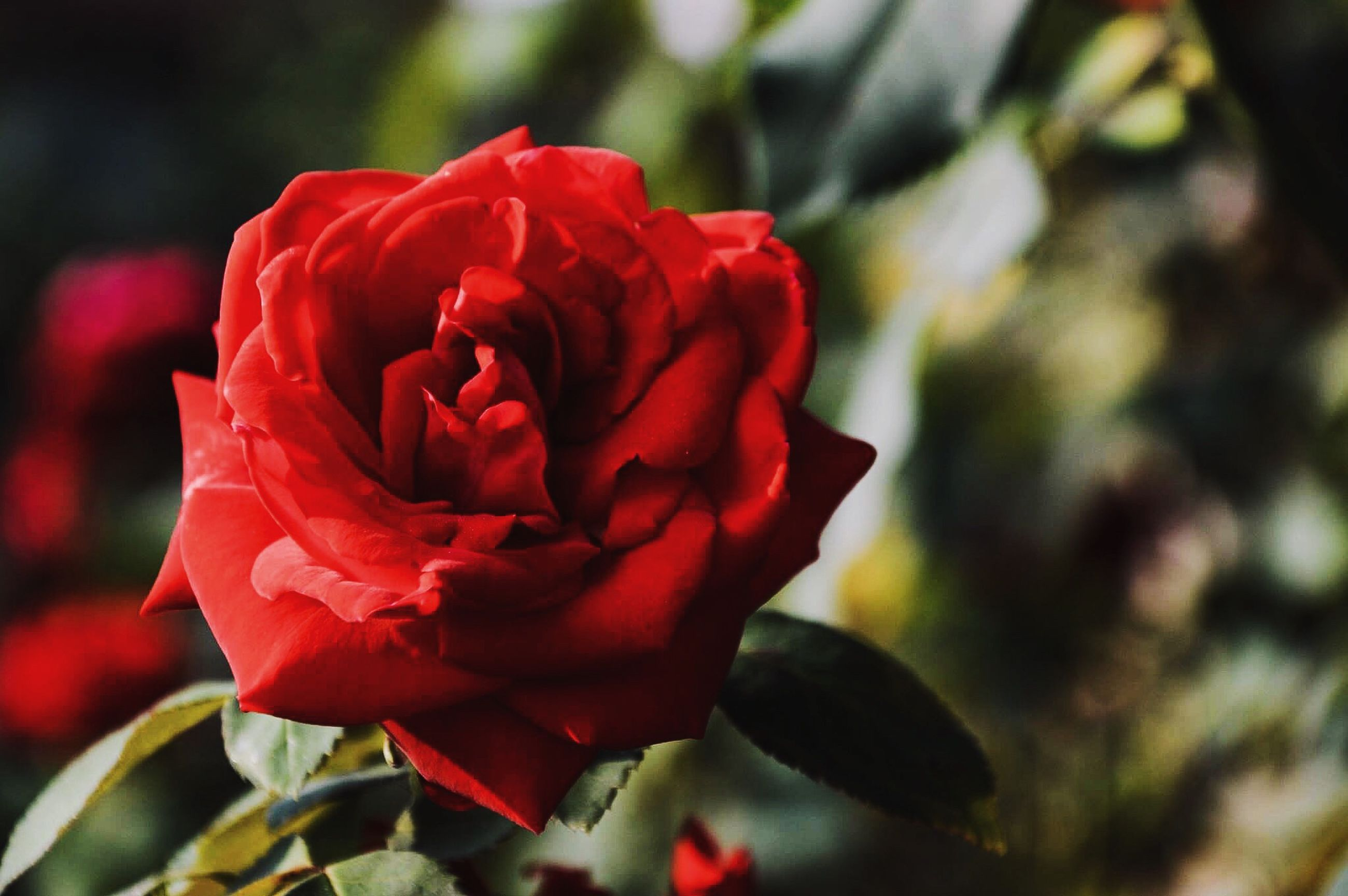 flower, petal, nature, red, beauty in nature, fragility, growth, plant, flower head, close-up, focus on foreground, no people, freshness, outdoors, blooming, rose - flower, day