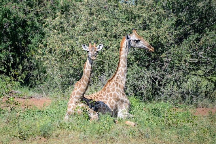 Safari in Kruger National Park, South Africa. Giraffe Kruger Park National Park South Africa Wildlife & Nature Africa Animal Themes Animal Wildlife Animals In The Wild Beauty In Nature Day Kruger Krugernationalpark Krugerpark Nature Outdoors Safari Safari Animals