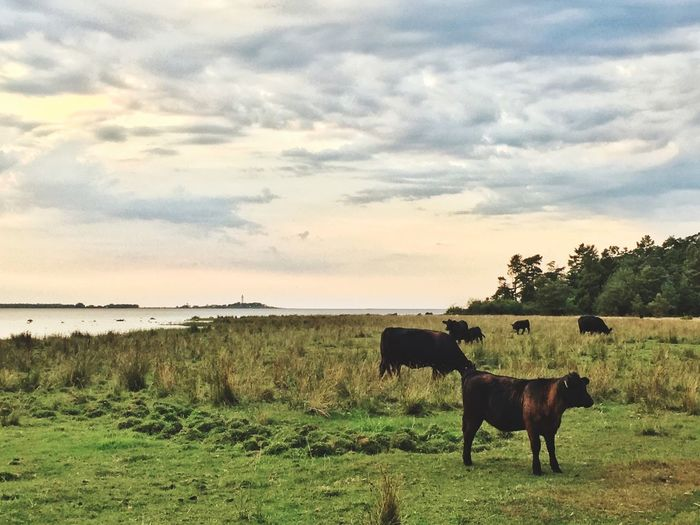 OUTDOOR COWS Summer Views Summertime Summer Scandinavia Sweden Seascape Seaside Domestic Mammal Domestic Animals Pets Animal Sky Animal Themes Cloud - Sky Livestock Vertebrate Plant Grass Land Beauty In Nature Field Nature No People Cattle Group Of Animals Cow