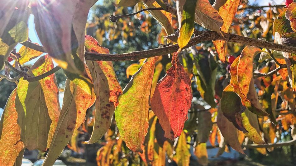 EyeEm Selects Autumn... Leaf Autumn Change Growth Nature Tree Day Outdoors No People Sunlight Beauty In Nature Plant Close-up Yellow Orange Red EyeEm Best Shots EyeEm Nature Lover
