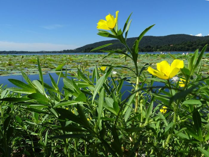 Panorama Low Angle View Beauty In Nature Comabbio Lake Flower Flower Head Flowering Plant Fragility Freshness Lake Landscape Nature No People Outdoors Plant Water Yellow