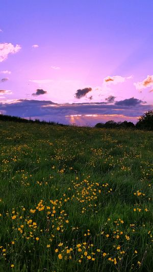 Yellow flowers blooming on field against sky at sunset