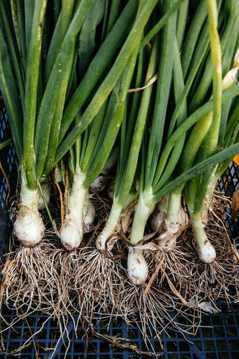 Green onions at a farm Agriculture Eating Farm Green Green Color Nature Plant Vegetarian Food Bunch Close-up Dirt Fresh Garden Harvest Healthy Eating Ingredient Nature_collection Nutrition Onion Organic Roots Tasty Vegetable Vegtables Vitamin