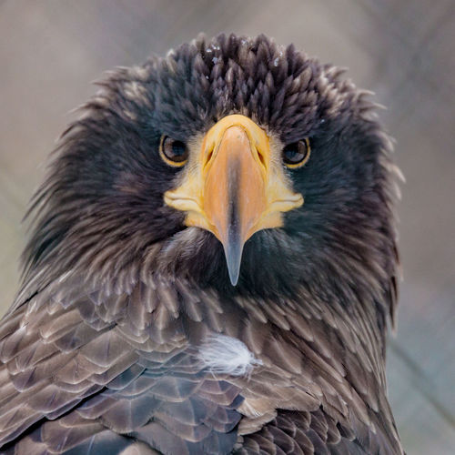 Animal Themes Big Eagle Bird Eagle No People One Animal Portrait Zoology