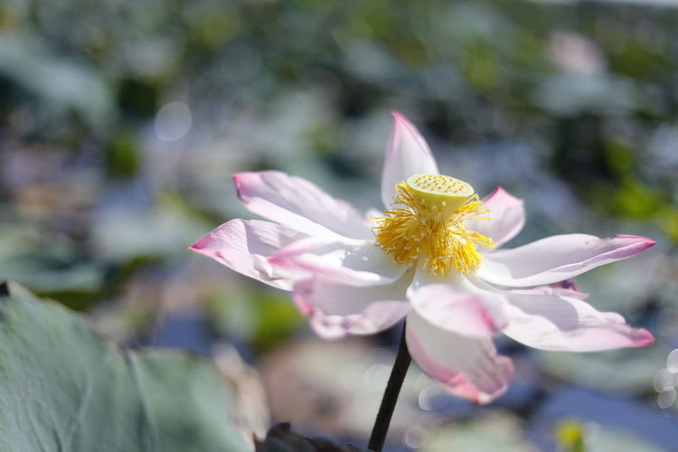 Green Color Clean Lotus Lotus Leaf Lotus Pond Flowering Plant Flower Petal Freshness Beauty In Nature Focus On Foreground Close-up Flower Head Growth Fragility Vulnerability  Plant Inflorescence Nature Day Pollen Yellow Outdoors No People Selective Focus