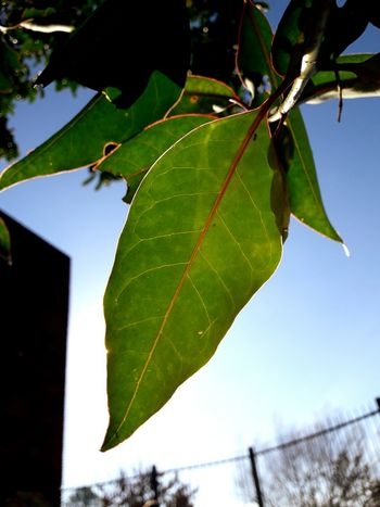 Leaf Nature No People Outdoors Tree Day Close-up Beauty In Nature Sky Branch Freshness Eyes First Eyeem Photo