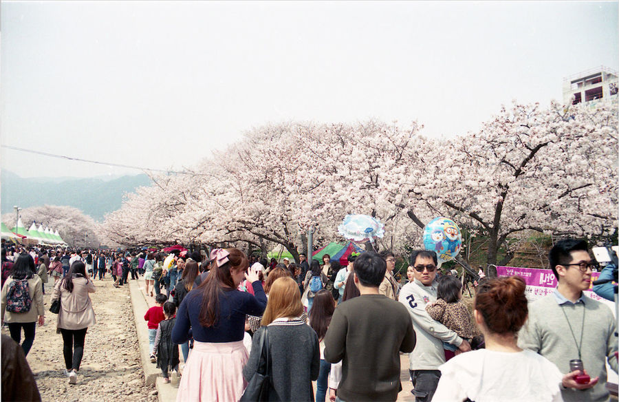 Cherry Blossoms Crowd Day Enjoyment Festival Friends Fun Jinhae Korea Landscape Canon ISO200 35mm Film Outdoors Sky Somethingnew South Korea Sunny Day Film Film Photography Tourism Tourist Traveling Tree Vacations