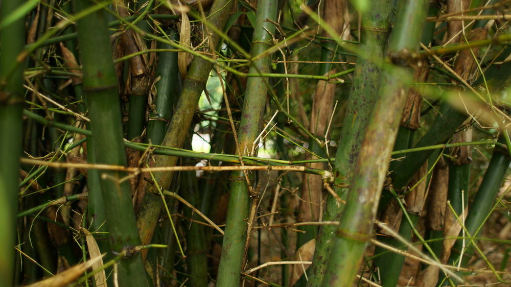 Bamboos Bamboo Grove Bamboo Tree... Bamboos Yellow Bamboo Bamboo Bamboo - Plant Bamboo Forest Bamboo Leaf