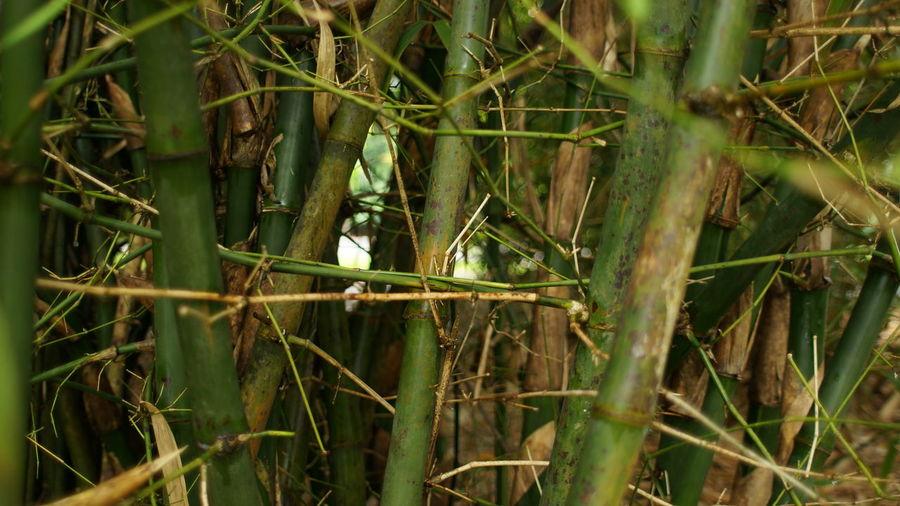 Bamboos Bamboo