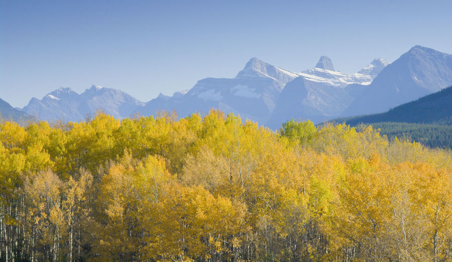 The yellow trees against the blue sky and the snow capped mountains was an irresistible shot Beauty Blue Sky Canada Day Fall Jasper National Park Landscape Mountains Nature Snow Capped Mountains Sunny Trees Yellow Yellow & Blue Colour Of Life