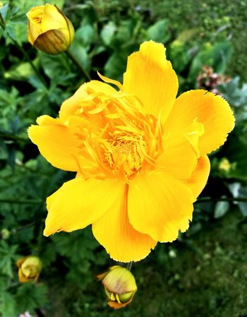 Flower Yellow Plant Petal Nature Fragility Flower Head Beauty In Nature Focus On Foreground Freshness Outdoors Close-up Growth Blossom Day Uncultivated Daffodil No People Peony  Paint The Town Yellow