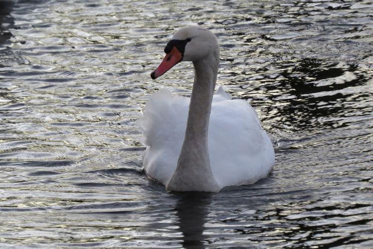 swan Wijk Bij Duurstede Water Swan White Bird Animal Holland Beautiful Nature Beatiful Creature Nature The Netherlands