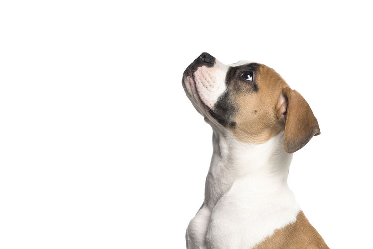 Portrait of an american bulldog puppy looking up seen from the side isolated on a white background American Bulldog Puppy Looking Up Side View Canine Dog One Animal Pets Animal Themes Animal White Background Copy Space Studio Shot