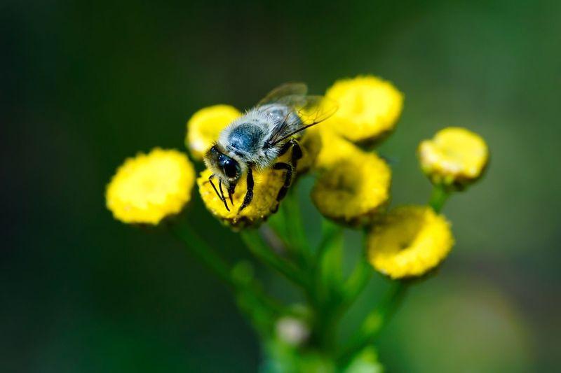 HoneyBee Honigbiene Bee Insect Macro Beauty Macro_collection Macro Wildlife Animals In The Wild One Animal Beauty In Nature Yellow Flowers Nature Alpha 77 II Germany EyeEm Gallery